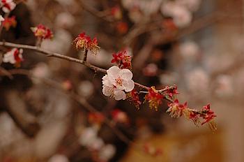 梅の花も終わり