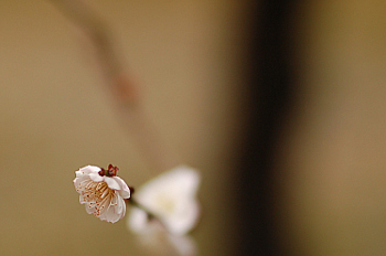 最後の梅の花