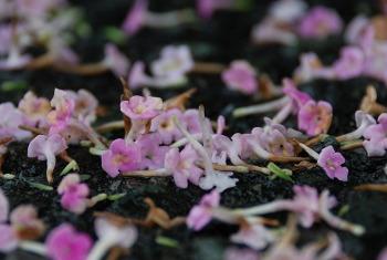 雨に散った花びら