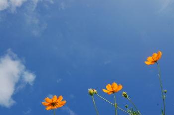 夏空にコスモス
