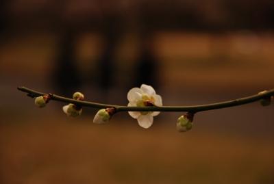 向山梅園の梅
