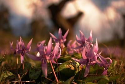 石巻のカタクリの花