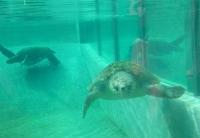 新江の島水族館の海ガメさん