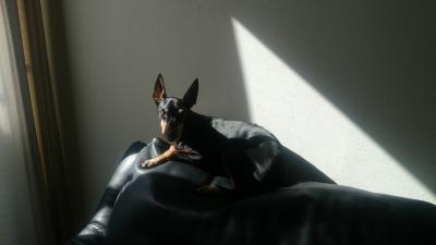 日の当たるソファーの上でまどろむトイマンチェスターテリアのJACKの引き画像