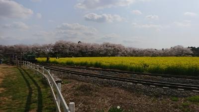 成田ゆめ牧場の桜と菜の花とトロッコ列車の画像