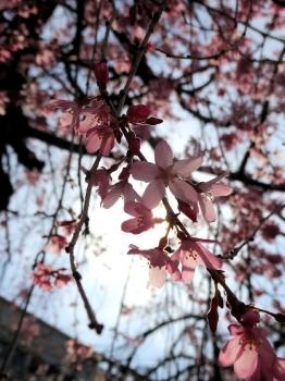4月1日の桜2