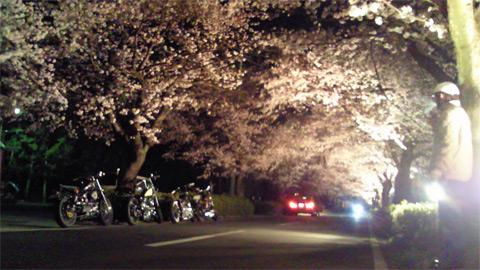 長瀞の桜新道が見頃です!