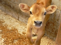 ジャージー子牛