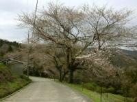 桜の様子3月31日