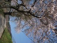 黒沢牧場桜