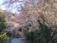 20100326黒沢牧場桜
