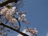 青空に桜がきれい