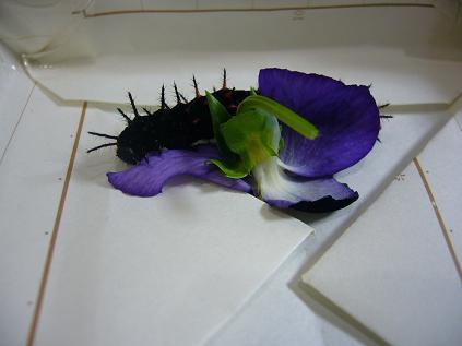 パンジーを食べるツマグロヒョウモンの幼虫
