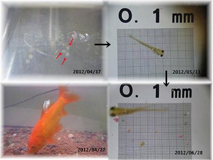 金魚の成長の軌跡