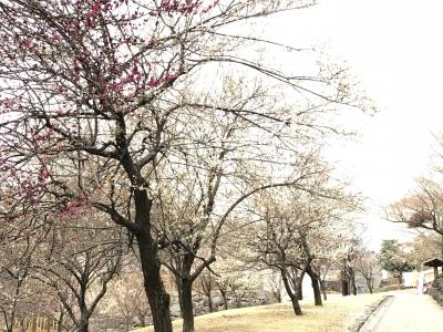 甲府城跡の梅