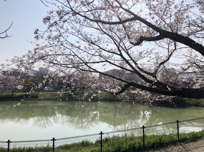 琵琶橋公園の桜
