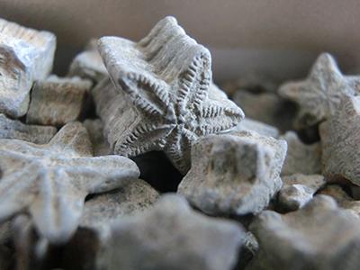 ウミユリの化石/7月の化石販売リスト