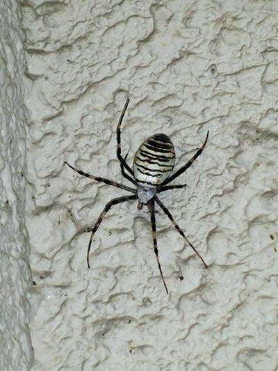 コガネグモ