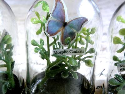 モルフォ蝶ミニ硝子ドーム標本