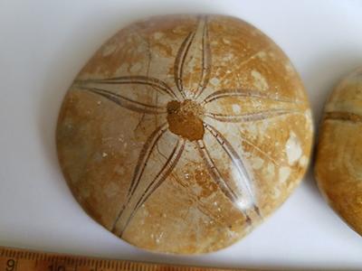 ウニ化石/きらら舎
