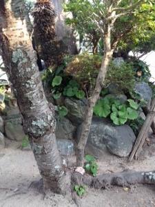 ヒラタケ2