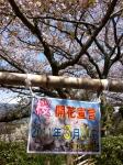 宇和島-桜