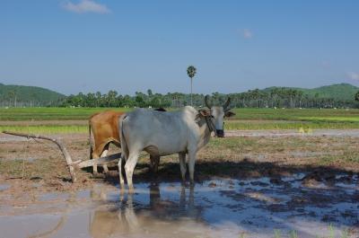 牛には田んぼが似合う。