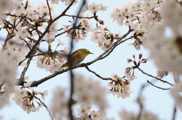 桜、メジロ