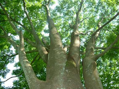 "bigtree""けやき"""