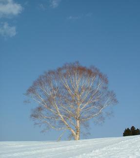 スノーコーラルの木