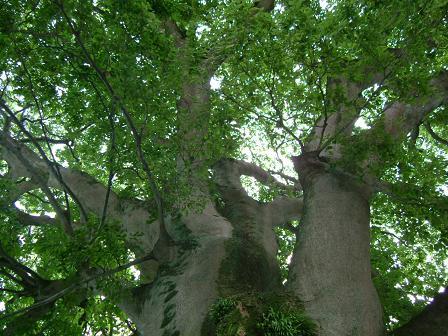 大きな樹(京都)