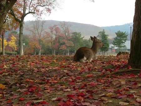2006奈良公園の紅葉