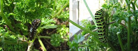 アゲハの幼虫(小と大)