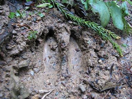 鹿の足跡?