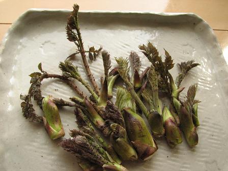 タラの芽収穫2008