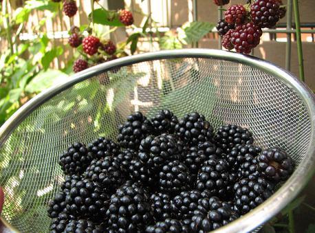 収穫(ブラックベリー)