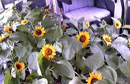 小さな向日葵のお客様