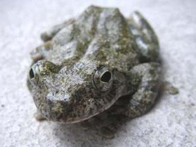 カジカガエル河鹿蛙