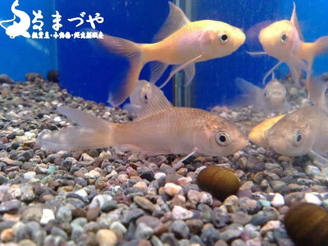 鉄魚(テツギョ)宮城県産純血統