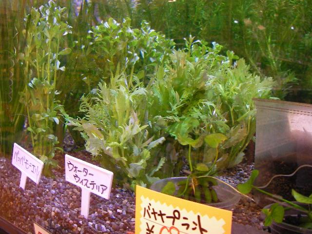 水草も多数ご用意!種類の豊富さと状態は定評があります