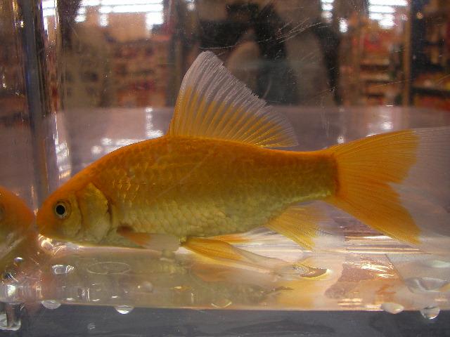 鉄魚(テツギョ)赤色変異個体(ヒブナ緋鮒)魚取沼産純血統 入荷