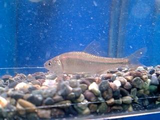 マタナゴ4-5cm入荷!胎生魚として有名な魚です。