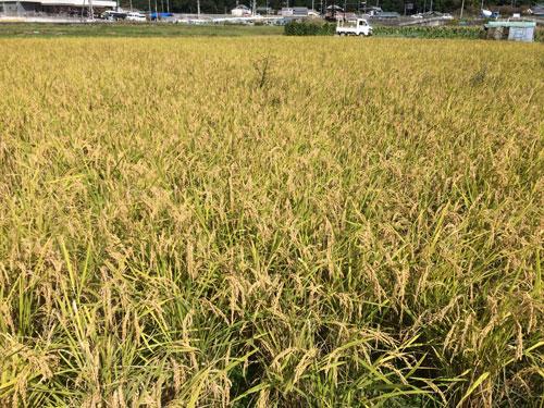 2019稲刈り前