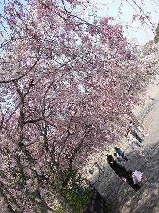 カレと姫に降り注ぐ桜〜^^