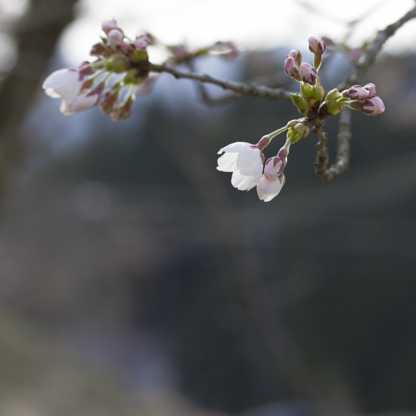 Cherry tree of Oku-aizu of 4/20