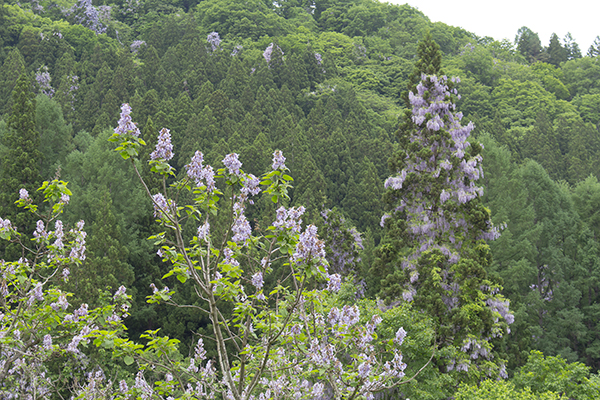 We watched paulownia in mountain with Obayashi oldness