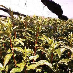 新茶の茶畑.jpg