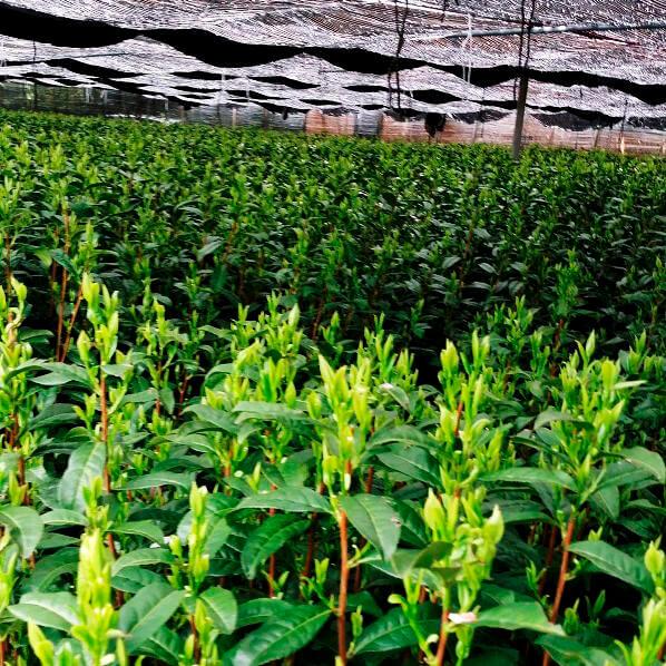 茶畑の黒い覆い.jpg
