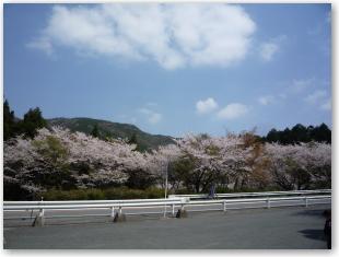 日向峠の桜2
