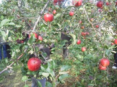 りんごの木2